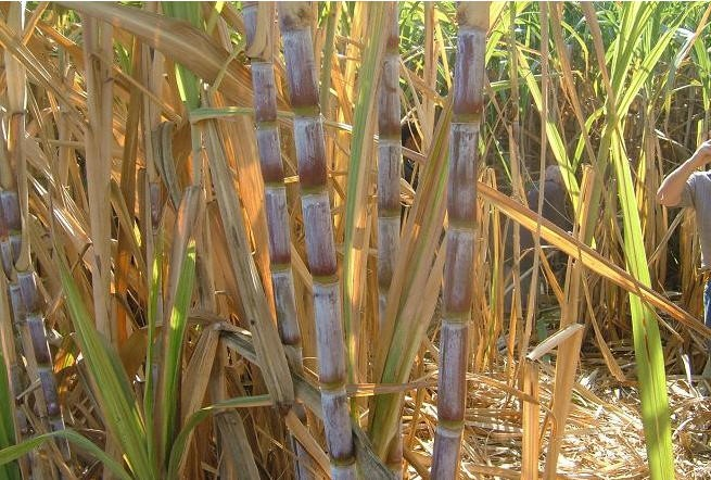 Sugercan Farms - Sugarcane juice benefits