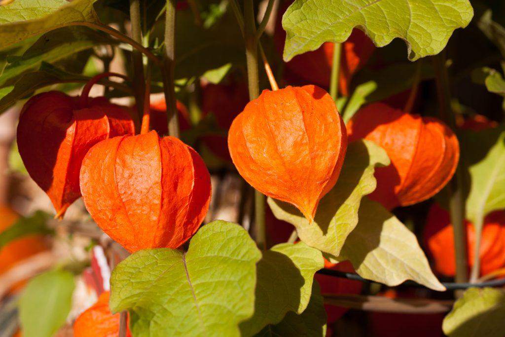 himalayan ashwagandha plant