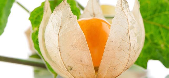 ashwagandha flower : ashwagandha benefits for men
