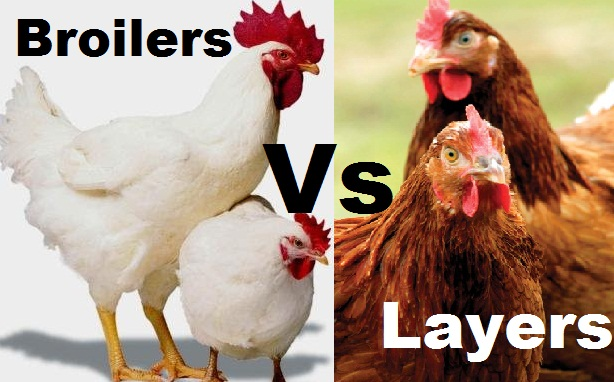 broiler vs layer chicken