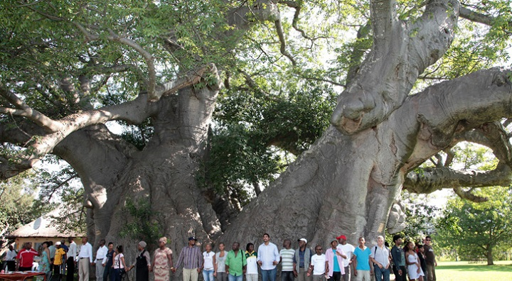 Biggest baobab